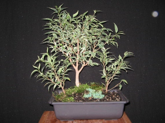 bonsai forest ficus benjamina variegata ficus variegated. Black Bedroom Furniture Sets. Home Design Ideas