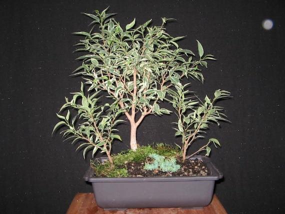 bonsai forest ficus benjamina variegata by buckscountybonsai. Black Bedroom Furniture Sets. Home Design Ideas