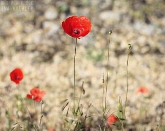 POPPIES photo print, vivid red poppy photography, 8x12