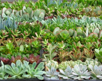 64 Succulent Collection  Party Favors Plants in 2 inch pots