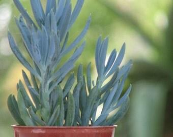 Seneccio Mandraliscae  Blue Chalk Succulent Plant