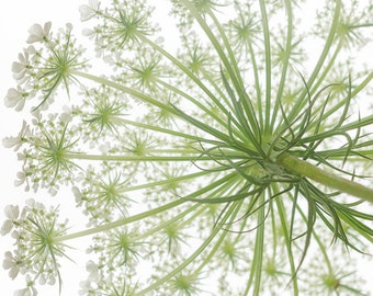 Floral Photography, Flower Photography, Queen Annes Lace , floral decor, shabby , romantic, wall hanging,White, Green, Wall Art, Floral Art