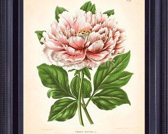 WITTE Botanical Print 8x10 Art Print Plate White Pink PEONY Vintage Large Flower Floral Decor Wall Hanging Home Decor Illustration BF0809