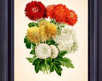 Gorgeous Botanical Floral Print Chrysanthemum Vintage Art Plate 1 LINDEN Red Orange Yellow White Flowers Summer Autumn Bouquet BF1001