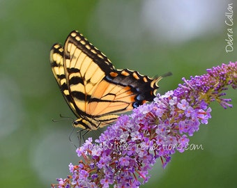Eastern Tiger Swallowtail on Butterfly Bush, 8x10 Photographic Metal Print