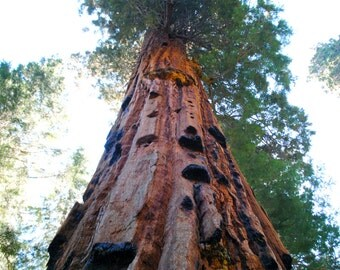 Redwood tree in Yosemite print in color or black and white.