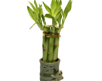 Small Lucky Bamboo Arrangement Jumping Frog Favor