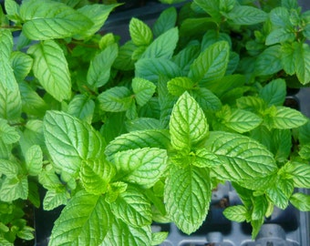 Spearmint live herb plant. Easy to grow. Most widely used mint for culinary and tea purposes.