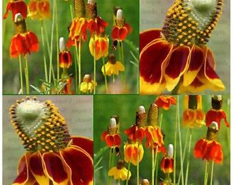 MEXICAN HAT CONEFLOWER Seed - Red Prairie Flower Seeds - R. columnaris - Zones: 3-9