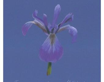 Print of an original pastel drawing of an iris