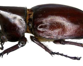 OVERSTOCK: Real Unmounted Giant Beetles, Xylotrupes gideon males