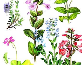 Shrubby Penstemon, Violet Butterwort - Botanical Print - 1988 Vintage Flower Print