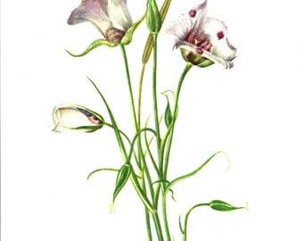 Flower Print - Catalina Mariposa - Vintage Art Print - Botanical Book Plate, Print - Wild Flowers of America - Red Lily - Mary Vaux Walcott