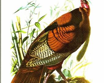 Bird Print - Wild Turkey Gobbler - Vintage Art Print - Audubon Book Plate, Print - Turkey - Birds of America - John James Audubon - 1970s