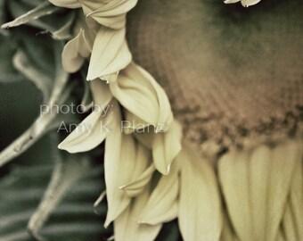 5x7 Loving Sunflower photograph print