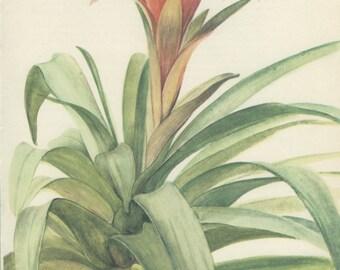 Sale 20% off Scarlet Star, Vintage Botanical Print, Guzmania, Home Decor, Indoor Plant 71 Flower Art, Illustration 1968, Kaplicka