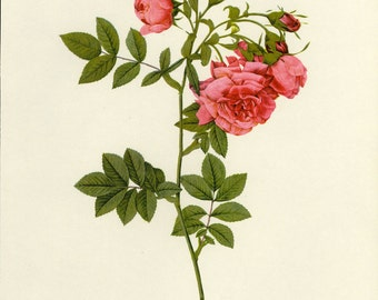 SALE Vintage Botanical Book plate by Redoute of Roses
