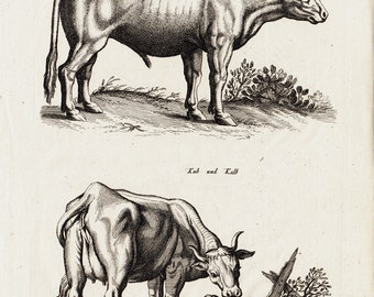 1657 Antique CATTLE print by Merian, castrated  bull and cow, calf,  handmade paper, original antique 356 years old