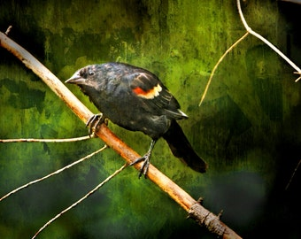 Red Wing Blackbird on a Tree Branch in Michigan No.0132OL - A Fine Art Bird Nature Photograph