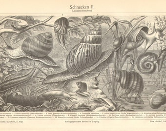 1906 Land Snails, Freshwater Snails and Slugs Original Antique Engraving to Frame