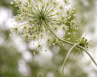 "Queen Anne's Lace Flower Print 12"" X 16"" Nature Photography, Wildflower Print, Floral Art, Botanical Print, Wall Decor"