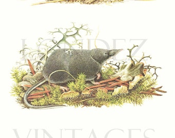 Shrew mouse print 1970 Vintage rodent art Vintage shrew mice poster VIntage rodent poster Rodent decor Mice gift Mouse gift
