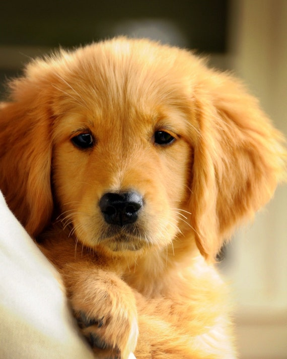 dogs similar to golden retriever items similar to puppy love adorable puppy golden 6777