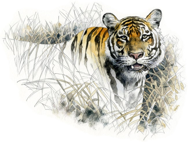 Bengal Tiger Watercolour Wildlife Art Nature By Robmanciniimages