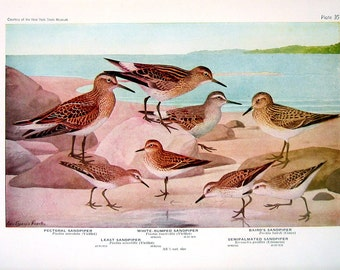 Pectoral Sandpiper, Baird's Sandpiper, Yellow Legs, Solitary Sandpiper - Fuertes Bird Print - 1936 Vintage Book Page - 8 x 11