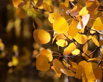 Aspen Leaves Gold Orange Sunny Fall Autumn Colorado Rustic Cabin Lodge Photograph