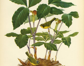 Kentucky Warbler Birds Print by Menaboni  SALE Buy 3, get 1 Free or Buy 5, get 2 FREE