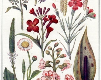 antique BOTANICAL print of various flowers and plants