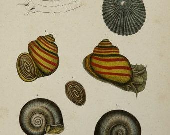 1854 Antique print of SEA SNAILS. Sea Snail. MOLLUSCS. Shells. Sea Life. 160 years old rare engraving.