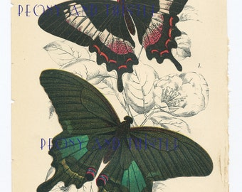 Antique Print of Butterflies, 1890s, Butterfly picture, Picture of Butterflies, Vintage Butterflies, Achillides paris, Hectorides ascanius