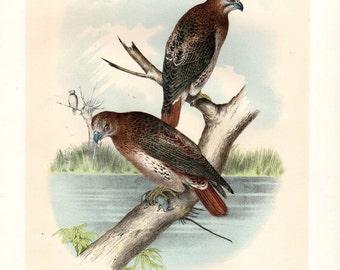 1888 FISH HAWK Large Antique Print Chromolithograph Studer Bird prints Vintage Bird Print