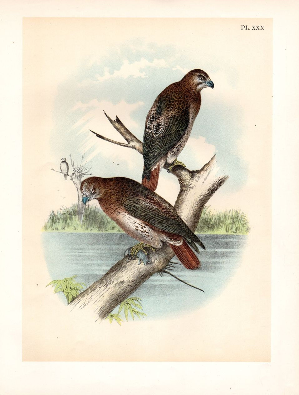 1888 fish hawk large antique print chromolithograph studer for Fish hawk bird