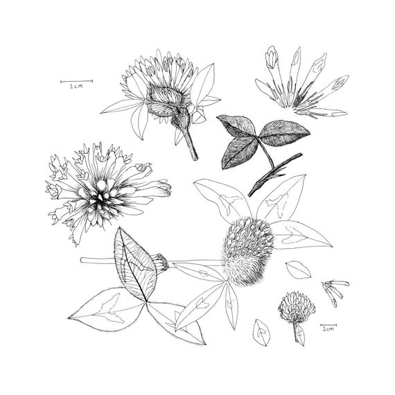 Red Clover Anatomy Black And White Scientific Print