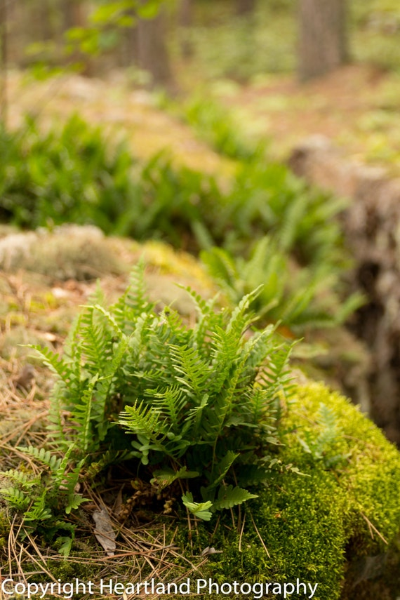 Fern Photography - Boundary Waters Prints - Nature Art Print - Green Wall Art - Nature Photography - Fine Art Photography - Home Decor