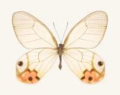 Large Photo, Glasswing Butterfly Art Print, Butterfly Wall Art, Large Photography Print, Nature Wall Decor, Photo Print