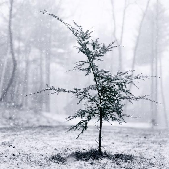 Christmas Tree Art, Winter Photography, Nature Art, Snow, Black & White, Winter Art, Woodland Decor, Pine Tree