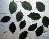 Real Pressed Flowers by Petal Annie (Loose) - 12  Holly Leaves - For Your Art Project - Leaves shown are an example