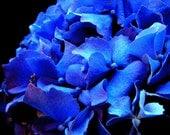 Blue Hydrangea Flower Photo, bright blue art, flower decor, blue and black decor, blue art photo, macro flower photo
