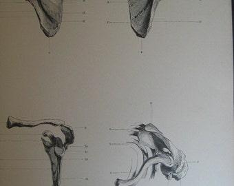 1886 Antique Medical Engraving of the Shoulder Bones