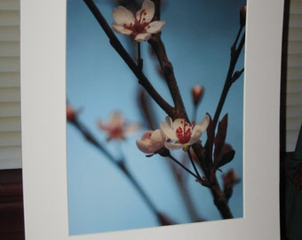 Matted, Sand Cherry, Tree, Blossom, Fine Art, Photography, Print, 8 x 10 Glossy