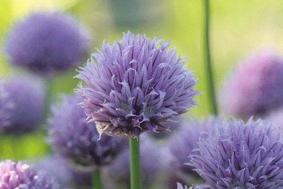 LAST COPY lavender and lime 3 - 8x10 photo of chives - sand and petals photography