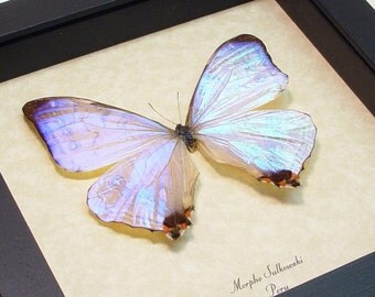 Salvador Dali Mother of Pearl Morpho Sulkoswi Butterfly Display 232