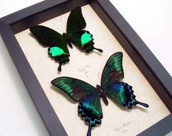 Real Framed Butterflies Papilio Maackii Paris Peacock Swallowtail Collection 8147