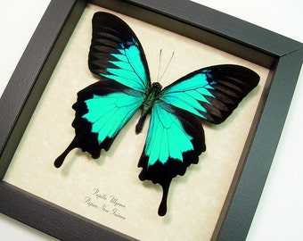 Framed Butterfly Best Seller Over 18 Years Blue Swallowtail Butterfly 204s