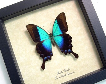 Wedding Gift Real Framed Rare Blue Glosswing Papilio Pericles Butterfly 8028