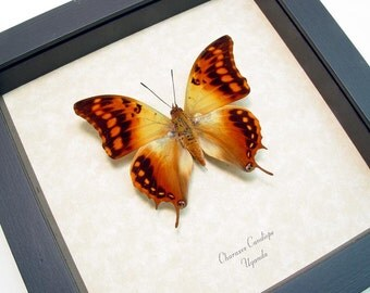 Real Framed African Dagger Tail Real Butterfly Conservation Display 1114